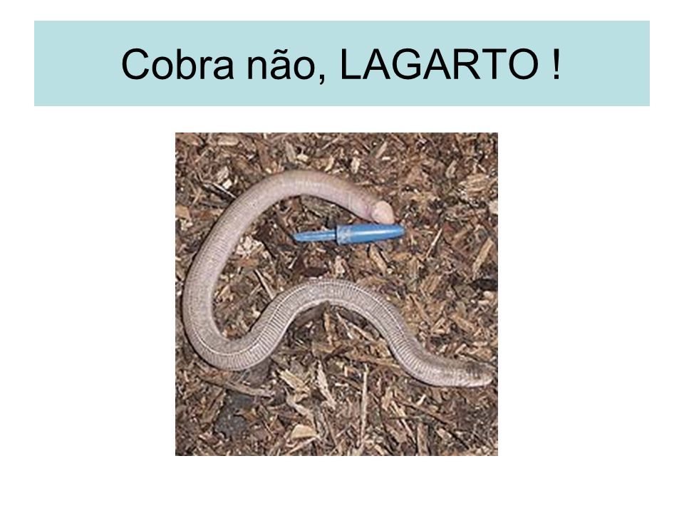 Cobra não, LAGARTO !