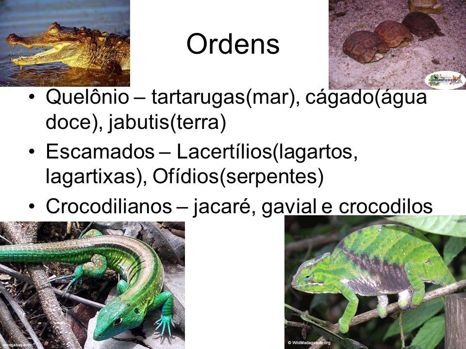 Corpo com escamas Ápodes Sem abertura nos ouvidos Sem bexiga urinária Algumas peçonhentas Ex.: Cobras OFÍDIOS