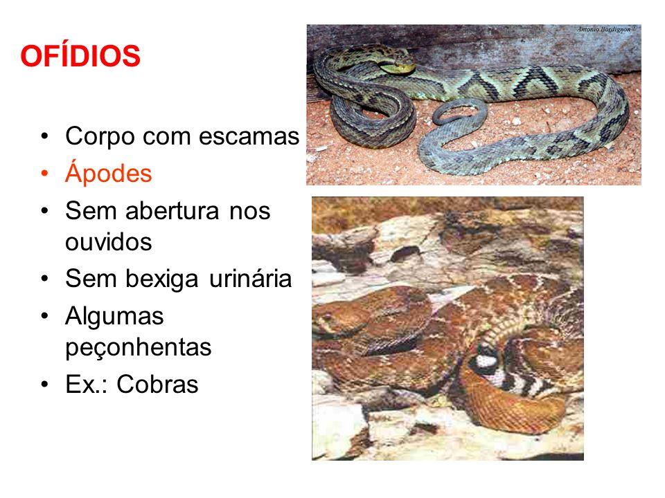 Lacertilia Ex.: Lagartos, Lagartixas, Camaleões, dragão- de-comodo Corpo alongado com escamas Tetrápodes ou patas ausentes Bexiga urinária