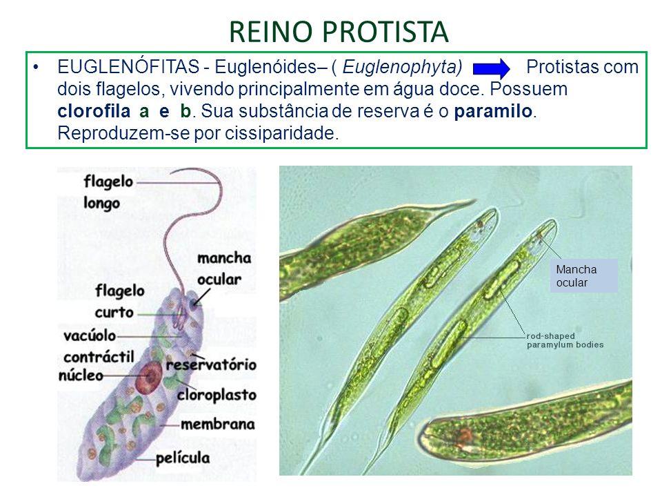 EUGLENÓFITAS - Euglenóides– ( Euglenophyta) Protistas com dois flagelos, vivendo principalmente em água doce. Possuem clorofila a e b. Sua substância