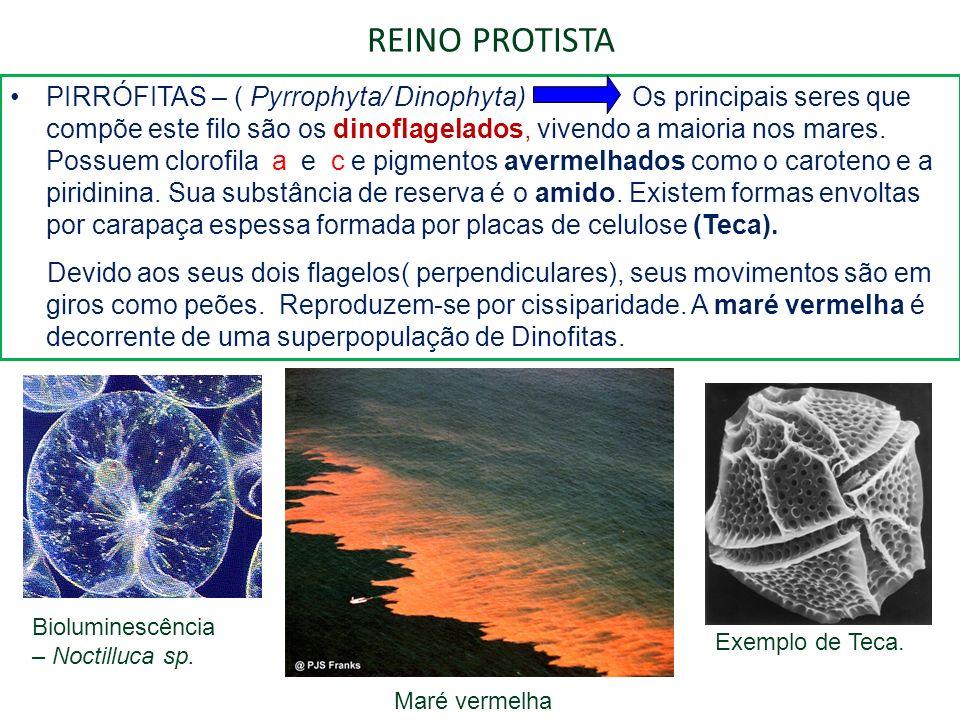 REINO PROTISTA PIRRÓFITAS – ( Pyrrophyta/ Dinophyta) Os principais seres que compõe este filo são os dinoflagelados, vivendo a maioria nos mares. Poss