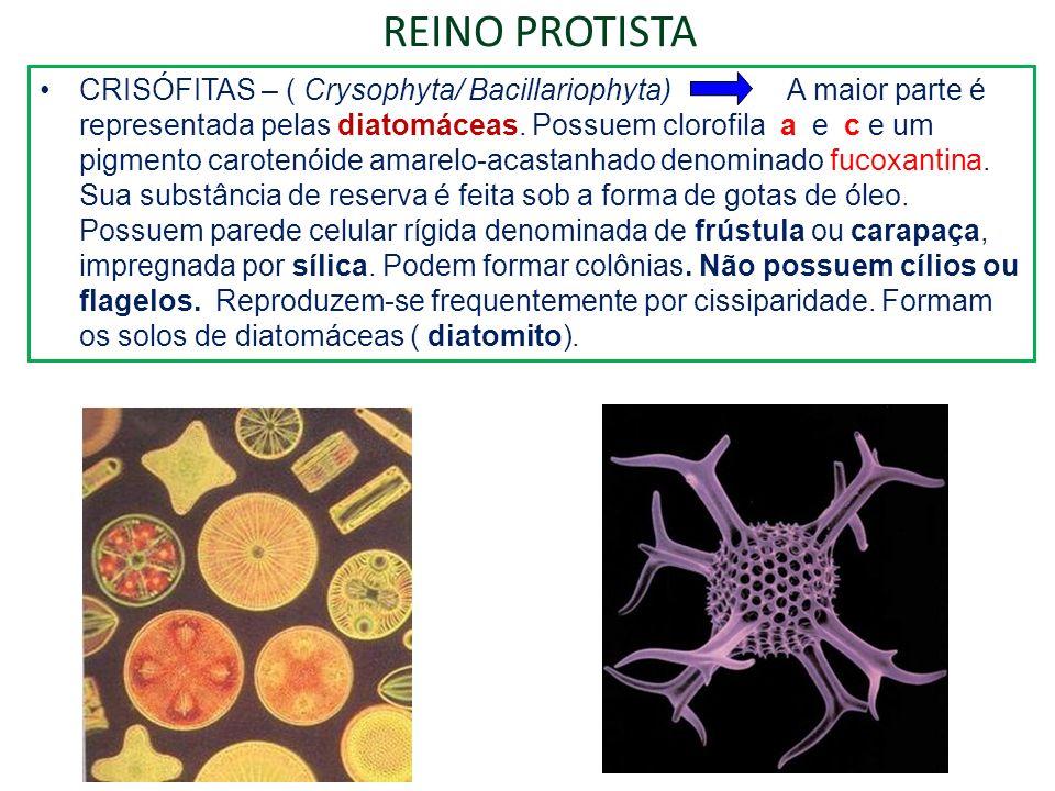 REINO PROTISTA CRISÓFITAS – ( Crysophyta/ Bacillariophyta) A maior parte é representada pelas diatomáceas. Possuem clorofila a e c e um pigmento carot
