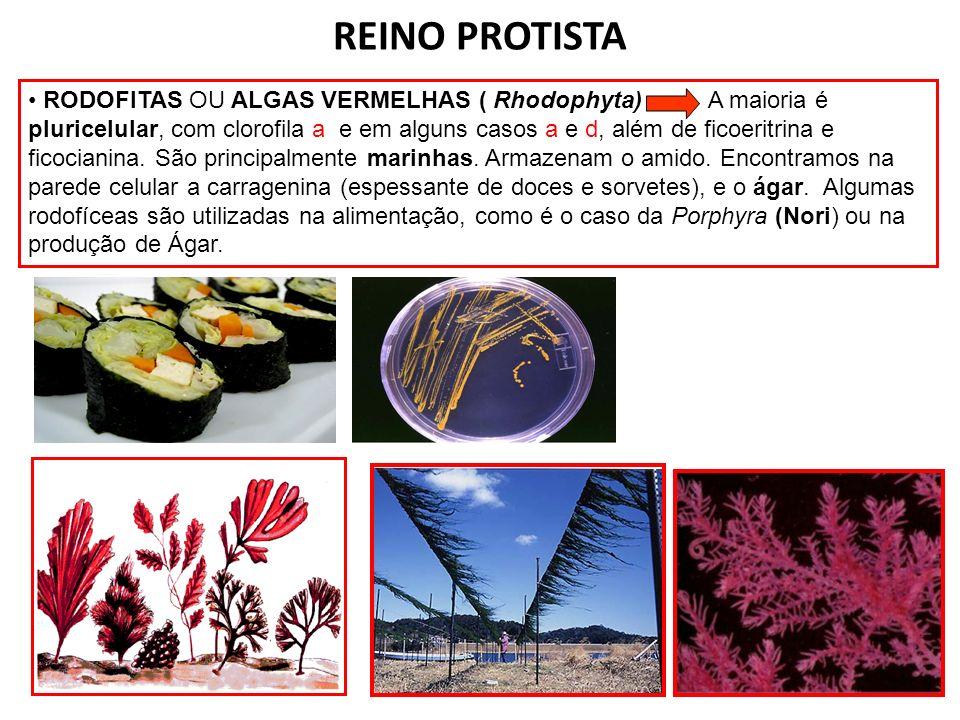 REINO PROTISTA RODOFITAS OU ALGAS VERMELHAS ( Rhodophyta) A maioria é pluricelular, com clorofila a e em alguns casos a e d, além de ficoeritrina e fi