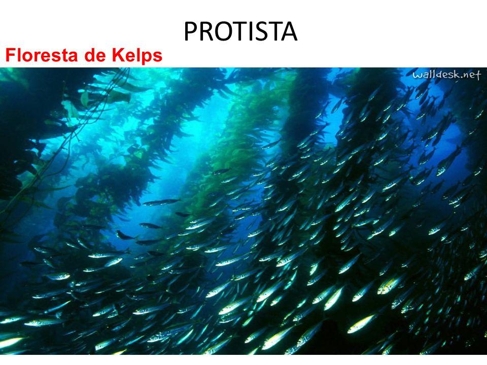 PROTISTA Floresta de Kelps