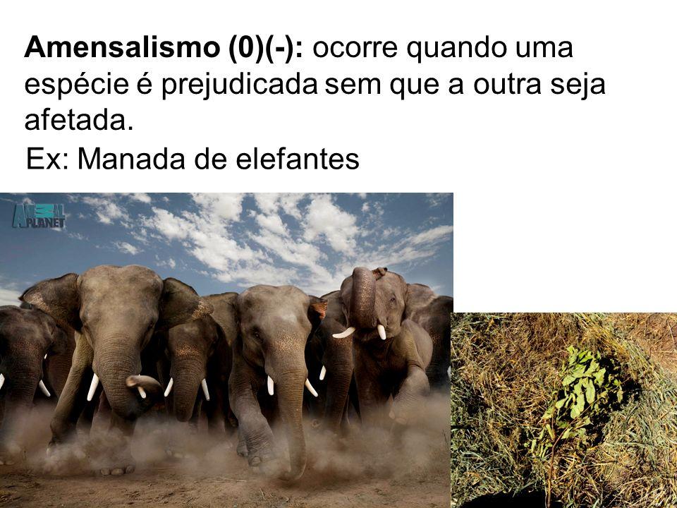 Amensalismo (0)(-): ocorre quando uma espécie é prejudicada sem que a outra seja afetada. Ex: Manada de elefantes