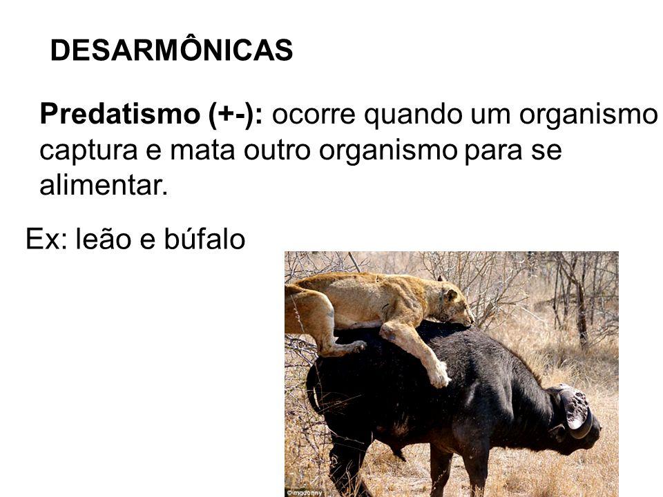 DESARMÔNICAS Predatismo (+-): ocorre quando um organismo captura e mata outro organismo para se alimentar. Ex: leão e búfalo