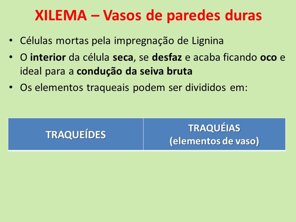 XILEMA – Vasos de paredes duras Células mortas pela impregnação de Lignina O interior da célula seca, se desfaz e acaba ficando oco e ideal para a con