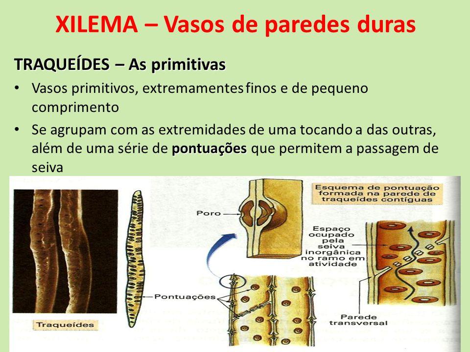 XILEMA – Vasos de paredes duras TRAQUEÍDES – As primitivas Vasos primitivos, extremamentes finos e de pequeno comprimento pontuações Se agrupam com as