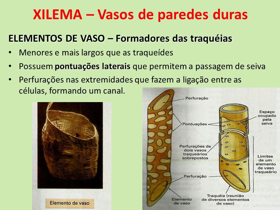 XILEMA – Vasos de paredes duras ELEMENTOS DE VASO – Formadores das traquéias Menores e mais largos que as traqueídes pontuações laterais Possuem pontu