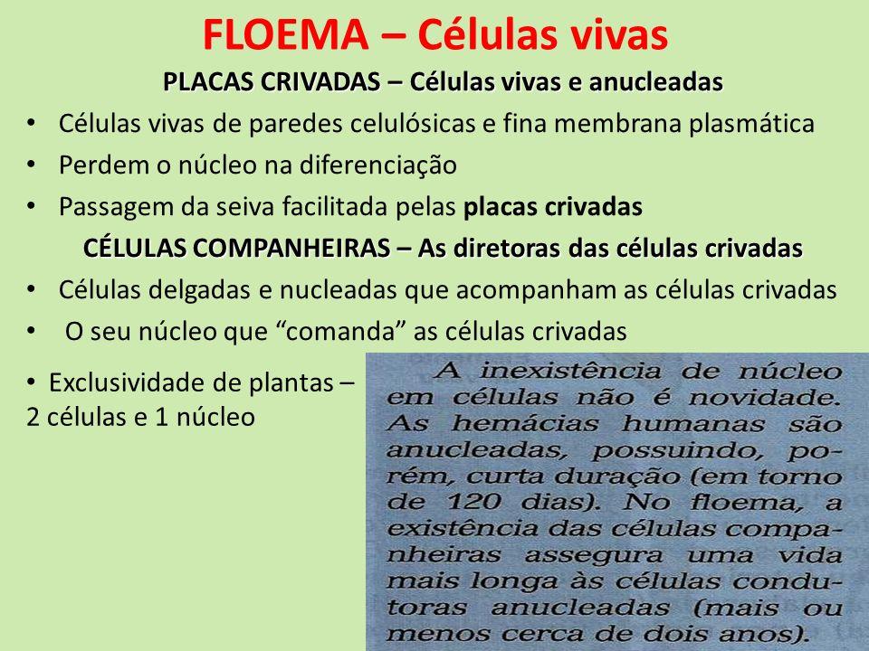 FLOEMA – Células vivas PLACAS CRIVADAS – Células vivas e anucleadas Células vivas de paredes celulósicas e fina membrana plasmática Perdem o núcleo na