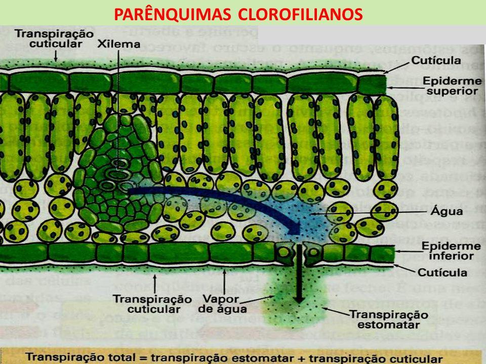 TECIDOS PARENQUIMÁTICOS PARÊNQUIMAS DE RESERVA Presentes em raízes, caules, frutos e sementes Classificado de acordo com o material armazenado PARÊNQUIMA AMILÍFERO Contêm amiloplastos que armazenam amido PARÊNQUIMA AERÍFERO Também chamado de aerênquima, armazena ar em suas lacunas PARÊNQUIMA AQUÍFERO Tem a capacidade de reter água