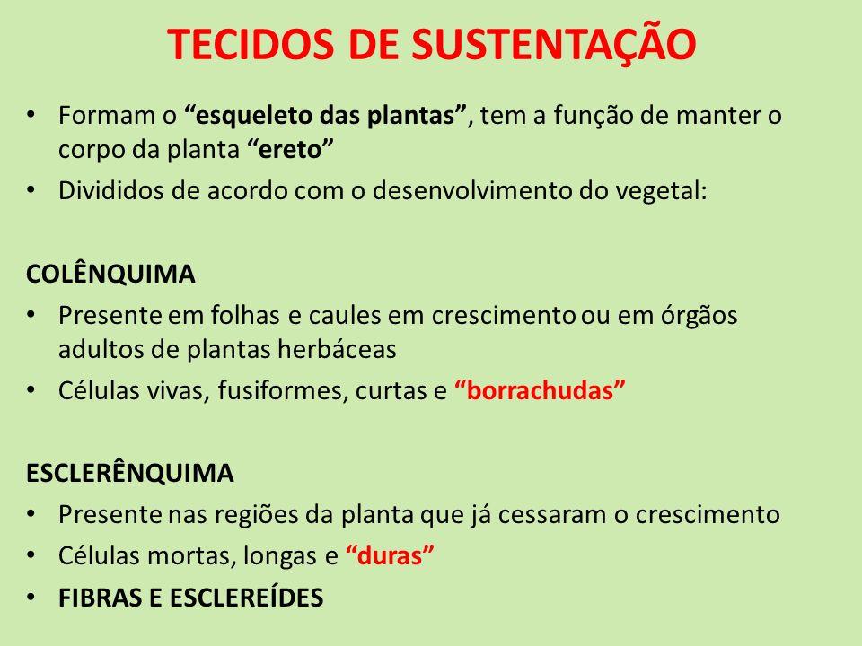 TECIDOS DE SUSTENTAÇÃO Formam o esqueleto das plantas, tem a função de manter o corpo da planta ereto Divididos de acordo com o desenvolvimento do veg
