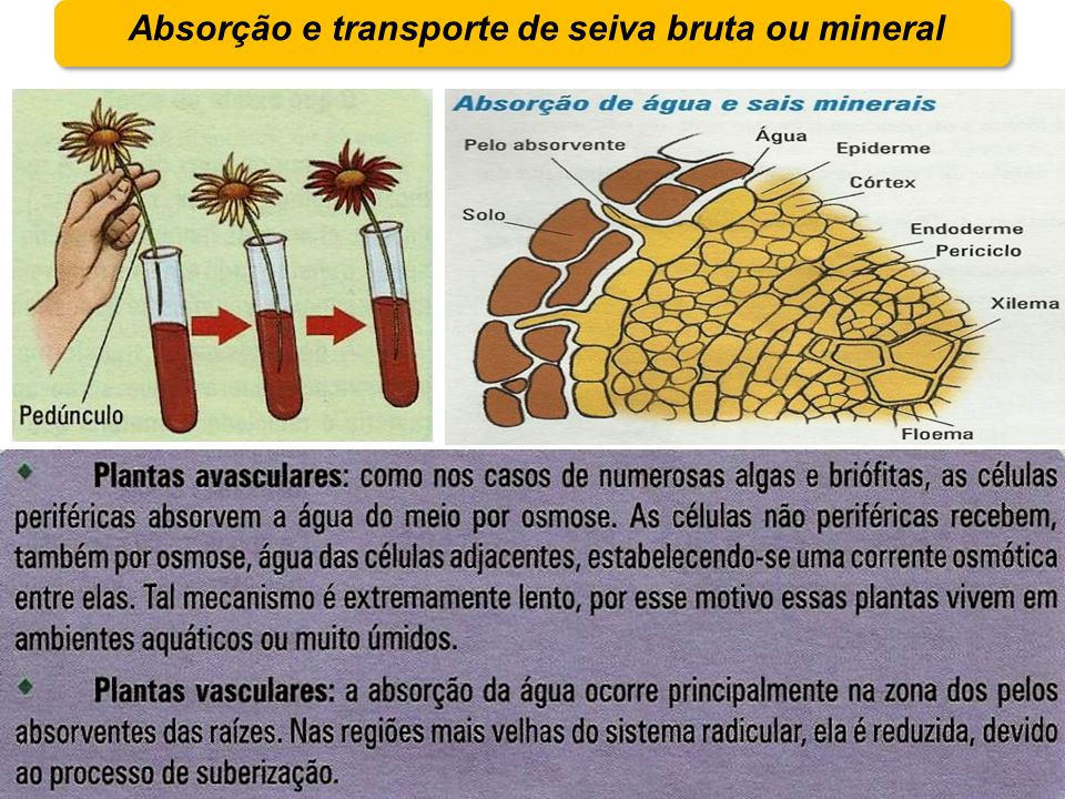 Absorção e transporte de seiva bruta ou mineral