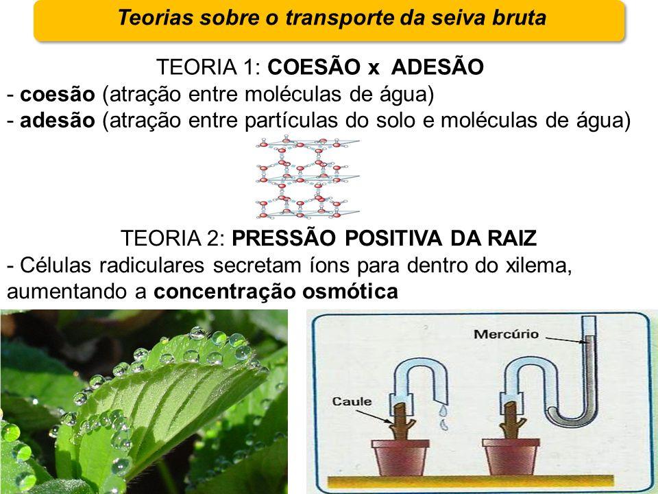 Teorias sobre o transporte da seiva bruta TEORIA 1: COESÃO x ADESÃO - coesão (atração entre moléculas de água) - adesão (atração entre partículas do s