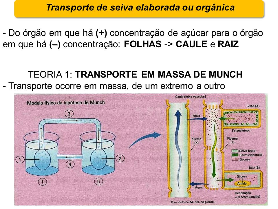 Transporte de seiva elaborada ou orgânica – - Do órgão em que há (+) concentração de açúcar para o órgão em que há (–) concentração: FOLHAS -> CAULE e