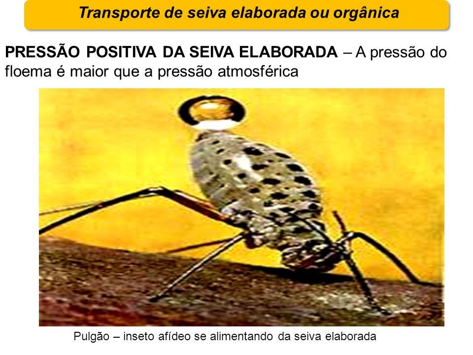 Transporte de seiva elaborada ou orgânica PRESSÃO POSITIVA DA SEIVA ELABORADA – A pressão do floema é maior que a pressão atmosférica Pulgão – inseto