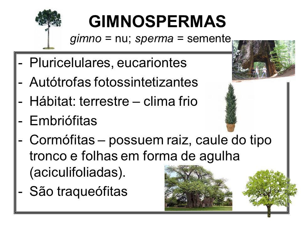GIMNOSPERMAS gimno = nu; sperma = semente -Pluricelulares, eucariontes -Autótrofas fotossintetizantes -Hábitat: terrestre – clima frio -Embriófitas -C