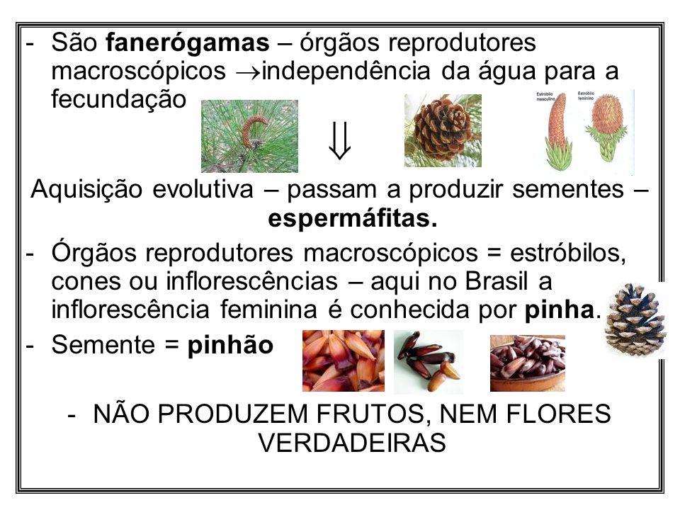 -São fanerógamas – órgãos reprodutores macroscópicos independência da água para a fecundação Aquisição evolutiva – passam a produzir sementes – esperm