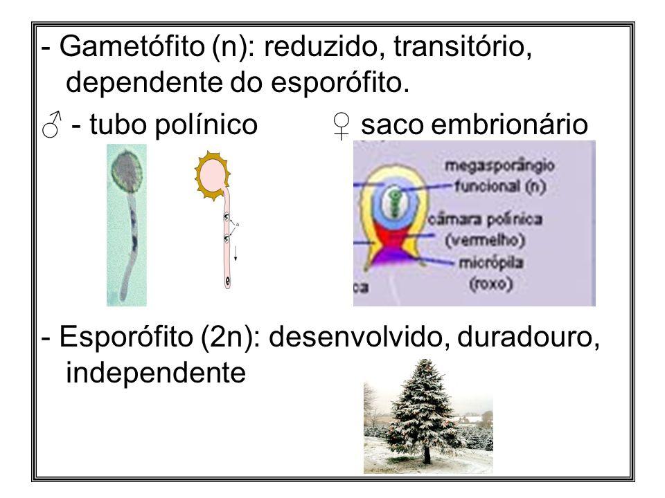 - Gametófito (n): reduzido, transitório, dependente do esporófito. - tubo polínico saco embrionário - Esporófito (2n): desenvolvido, duradouro, indepe