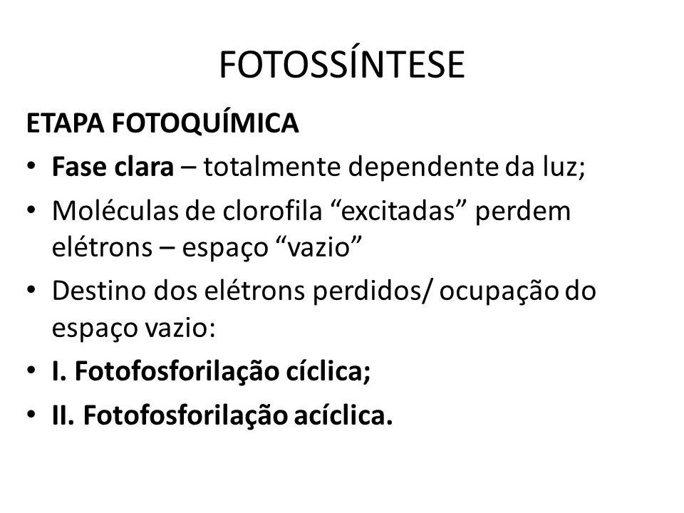 I. Fotofosforilação cíclica Ocorre nos tilacóides Fotossistema I (clorofila a)