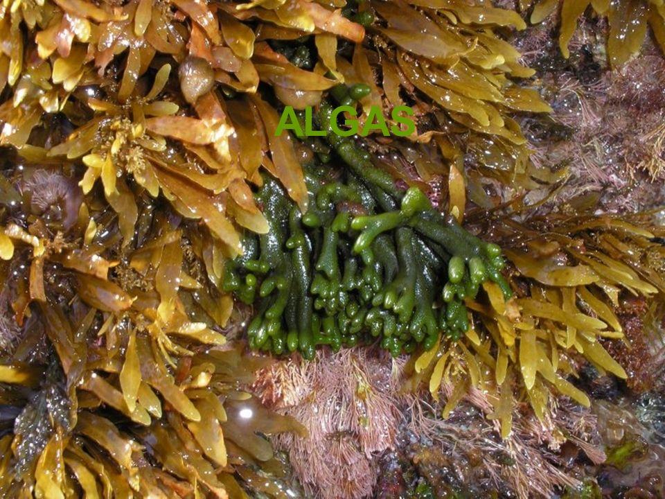 DIATOMÁCEAS Representantes: Algas unicelulares, muito comum no plâncton marinho (há espécies dulcícolas), cuja característica principal é a presença de uma carapaça (frústula) formada por 2 valvas compostas de sílica.