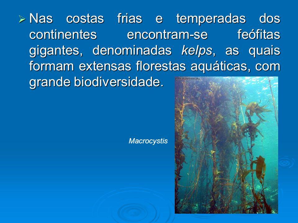 Nas costas frias e temperadas dos continentes encontram-se feófitas gigantes, denominadas kelps, as quais formam extensas florestas aquáticas, com gra