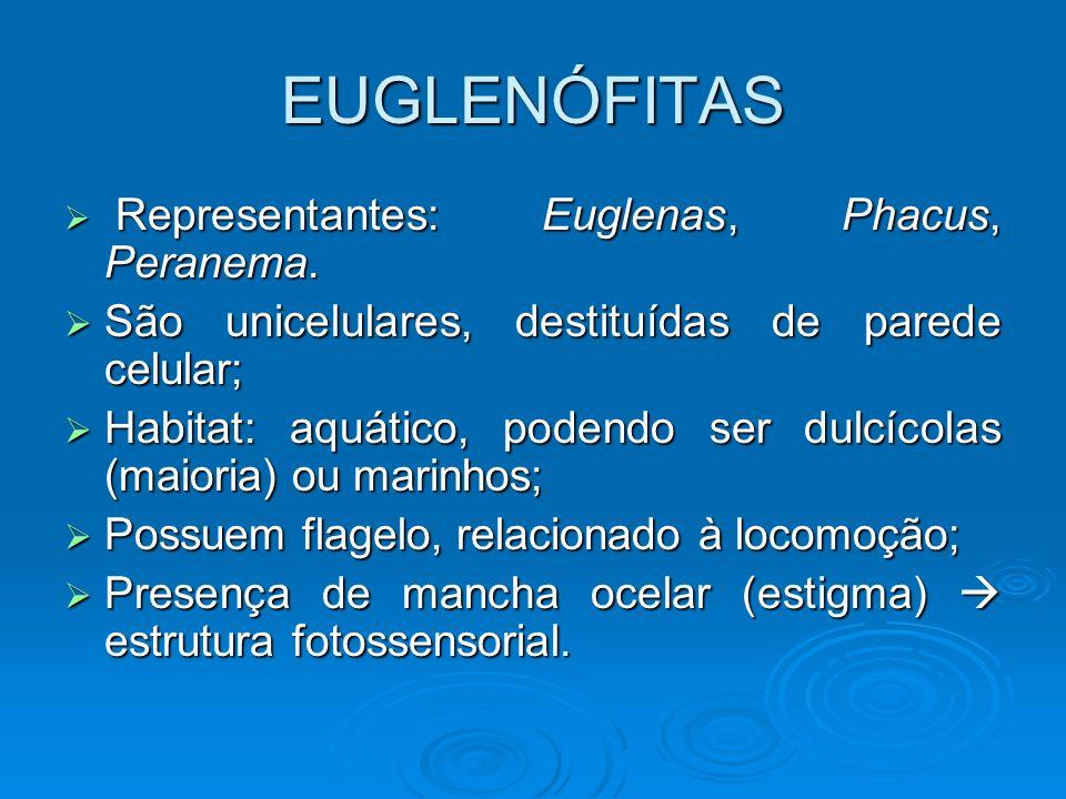 EUGLENÓFITAS Representantes: Euglenas, Phacus, Peranema. Representantes: Euglenas, Phacus, Peranema. São unicelulares, destituídas de parede celular;