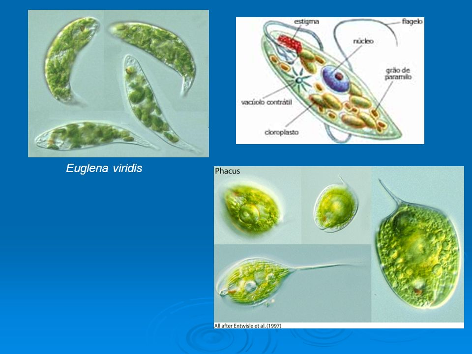 Pigmentos: Clorofila a e clorofila b; carotenoides.
