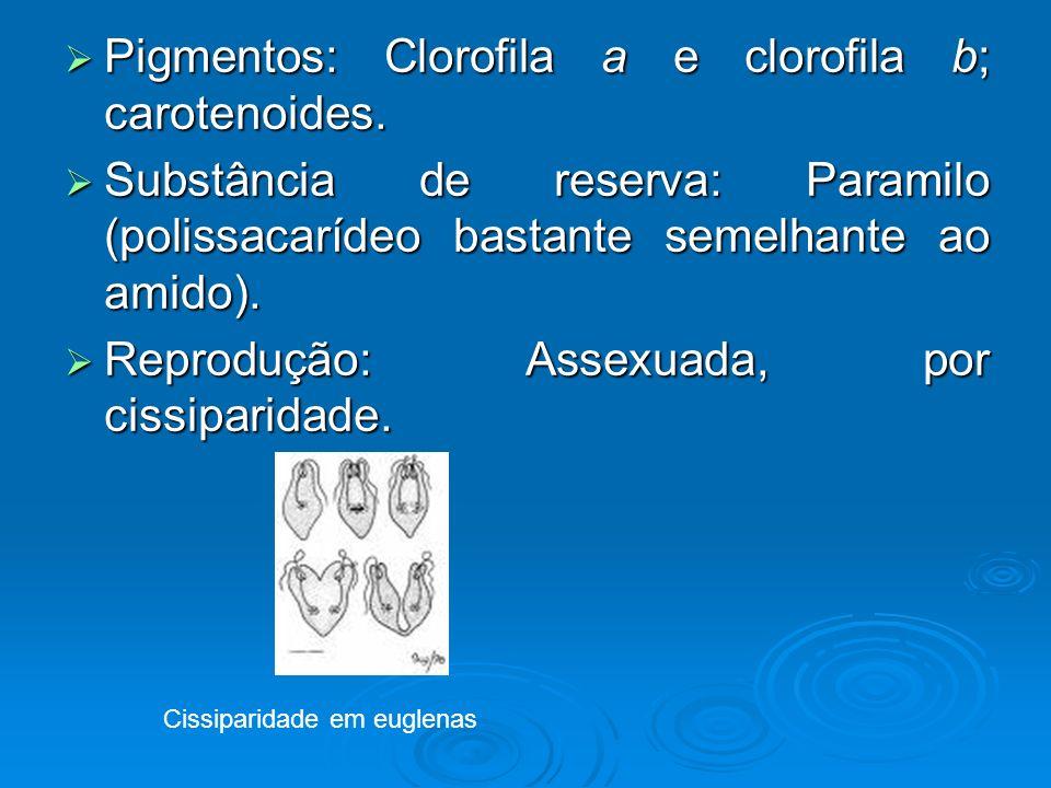 Pigmentos: Clorofila a e clorofila b; carotenoides. Pigmentos: Clorofila a e clorofila b; carotenoides. Substância de reserva: Paramilo (polissacaríde