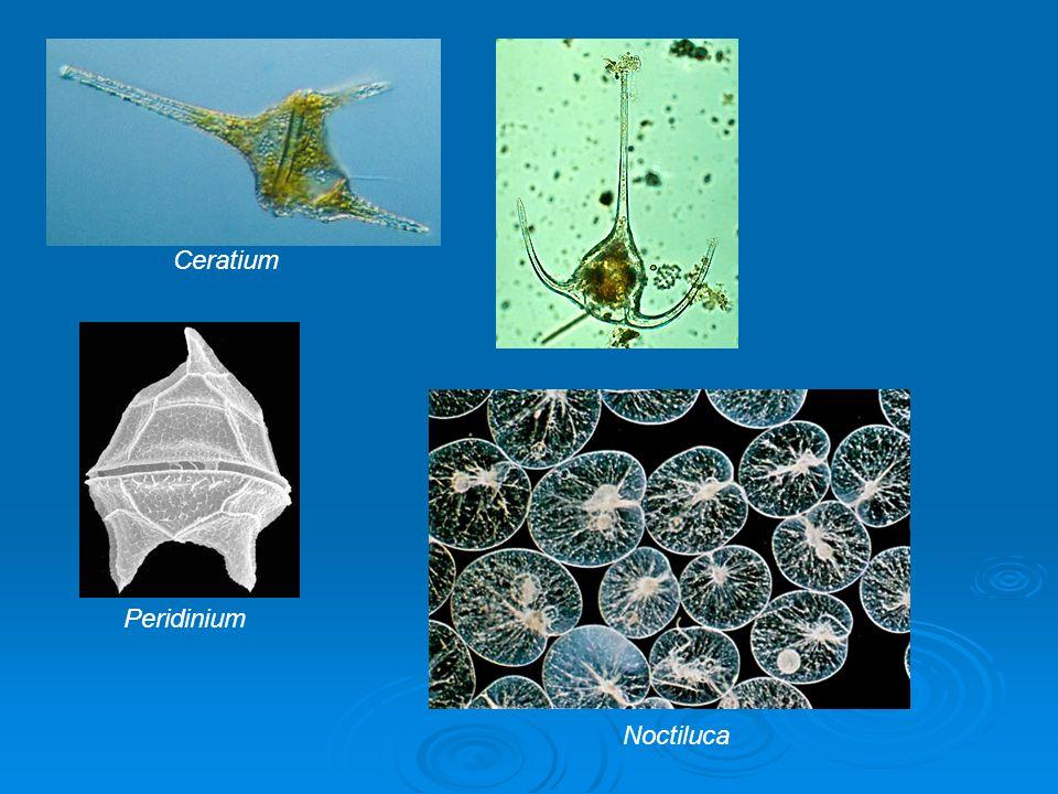 Pigmentos: clorofila a e clorofila c; carootenoides (peridinina cor avermelhada); Pigmentos: clorofila a e clorofila c; carootenoides (peridinina cor avermelhada); Reserva: Amido.