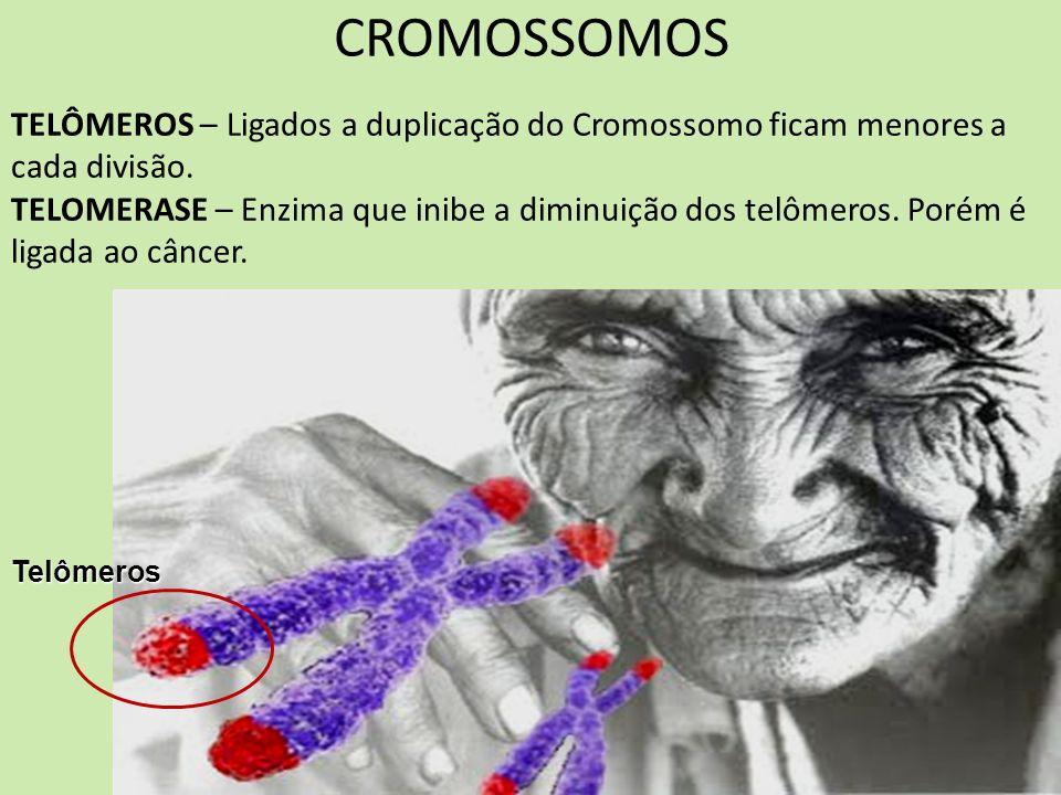 Telômeros TELÔMEROS – Ligados a duplicação do Cromossomo ficam menores a cada divisão. TELOMERASE – Enzima que inibe a diminuição dos telômeros. Porém