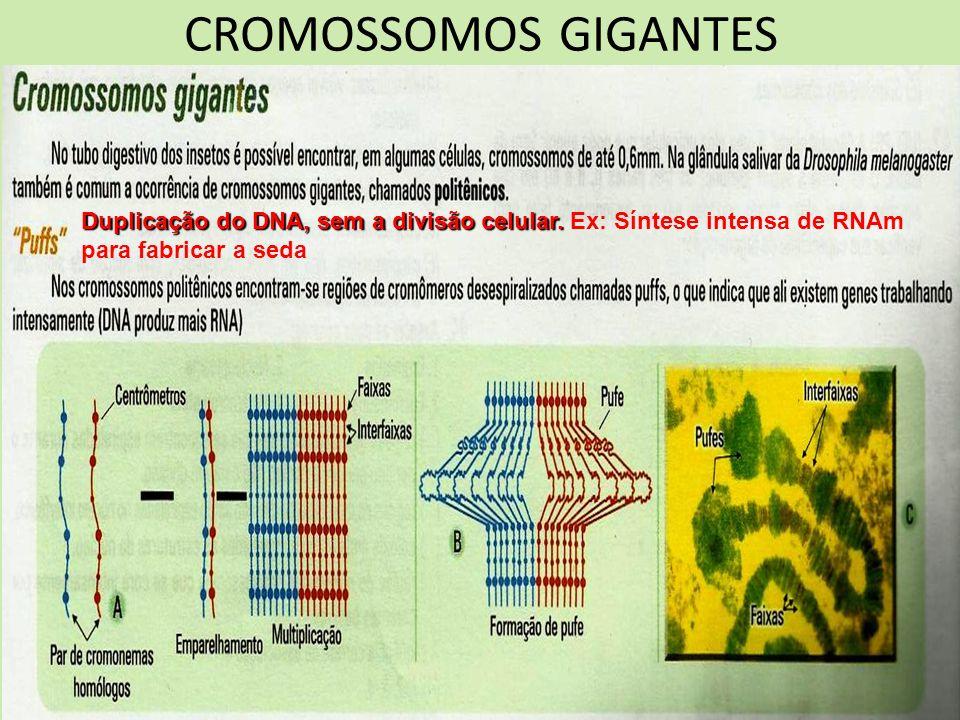 CROMOSSOMOS GIGANTES Duplicação do DNA, sem a divisão celular. Duplicação do DNA, sem a divisão celular. Ex: Síntese intensa de RNAm para fabricar a s