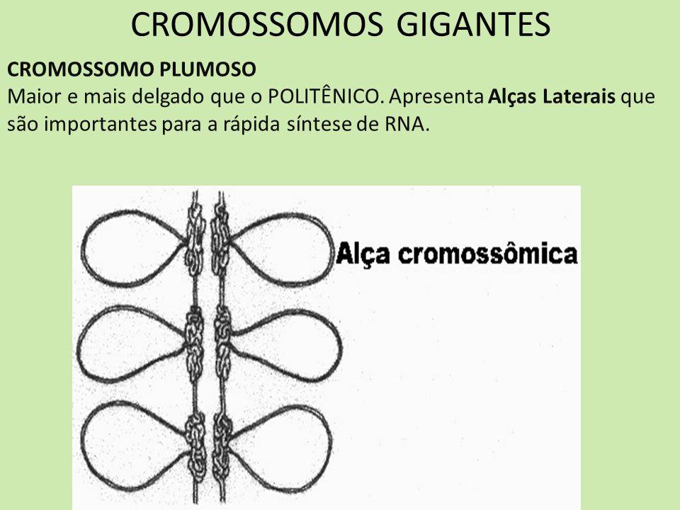 CROMOSSOMOS GIGANTES CROMOSSOMO PLUMOSO Maior e mais delgado que o POLITÊNICO. Apresenta Alças Laterais que são importantes para a rápida síntese de R