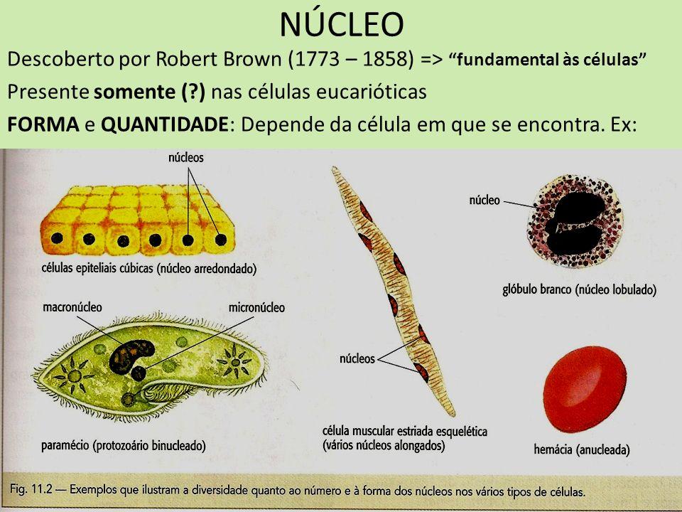 NÚCLEO Descoberto por Robert Brown (1773 – 1858) => fundamental às células Presente somente (?) nas células eucarióticas FORMA e QUANTIDADE: Depende d