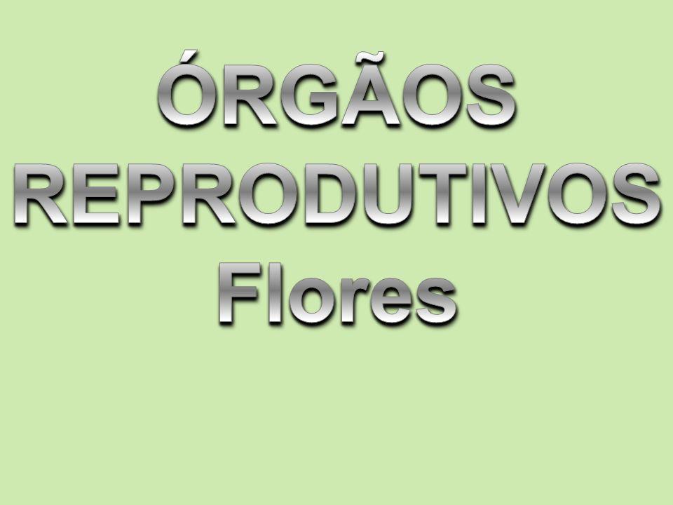 FLORES Flores verdadeiras => ANGIOSPERMAS Órgão reprodutor da planta EVOLUÇÃO => Modificação para atrair POLINIZADORES