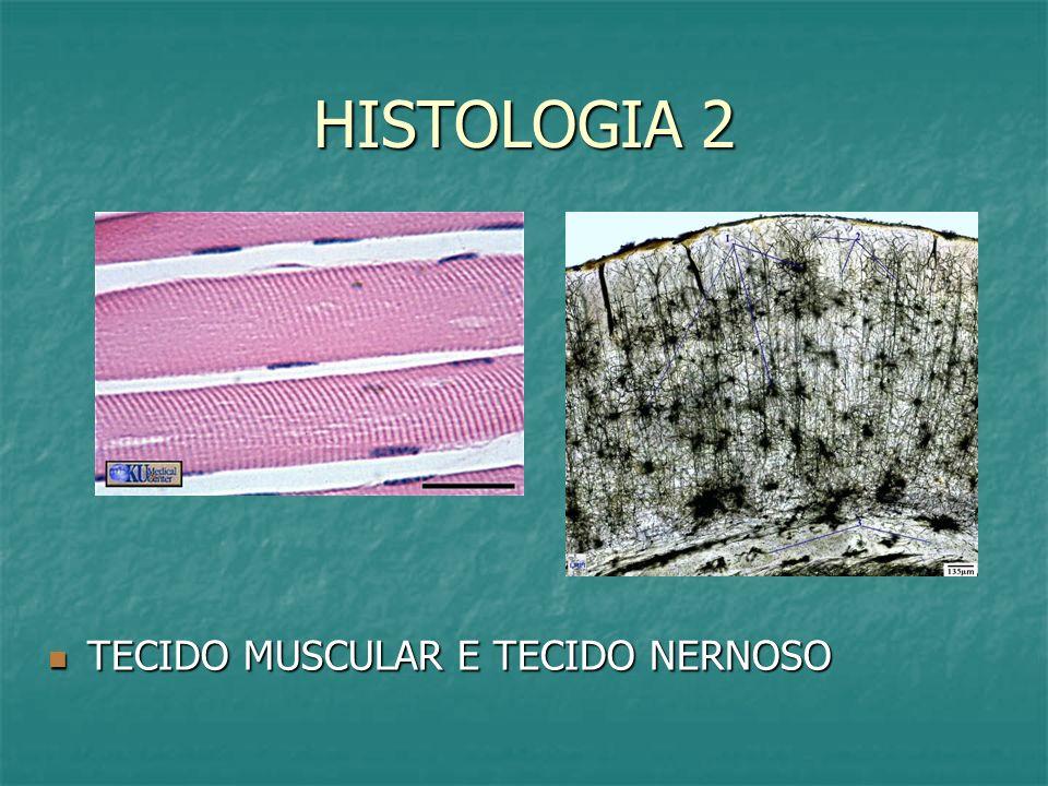HISTOLOGIA 2 TECIDO MUSCULAR E TECIDO NERNOSO TECIDO MUSCULAR E TECIDO NERNOSO