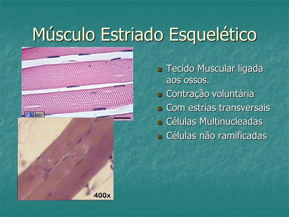 Músculo Estriado Esquelético Tecido Muscular ligada aos ossos. Contração voluntária Com estrias transversais Células Multinucleadas Células não ramifi