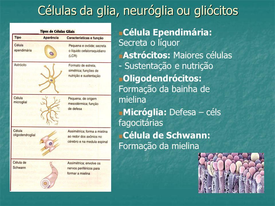 Células da glia, neuróglia ou gliócitos Célula Ependimária: Secreta o líquor Astrócitos: Maiores células - Sustentação e nutrição Oligodendrócitos: Fo