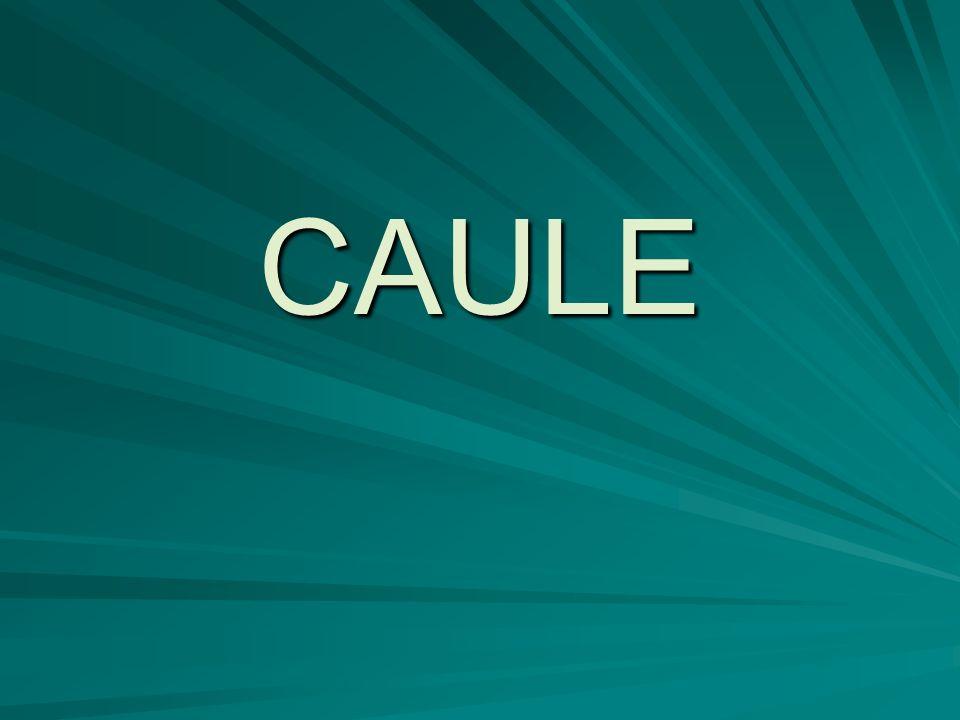 Caule - Subterrâneo Podem ser classificados em: - Rizomas; - Tubérculo; - Bulbo.