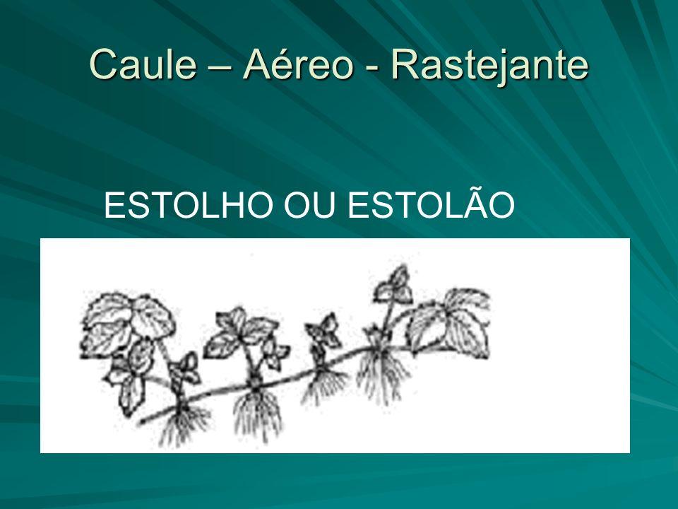 Caule – Aéreo - Rastejante ESTOLHO OU ESTOLÃO