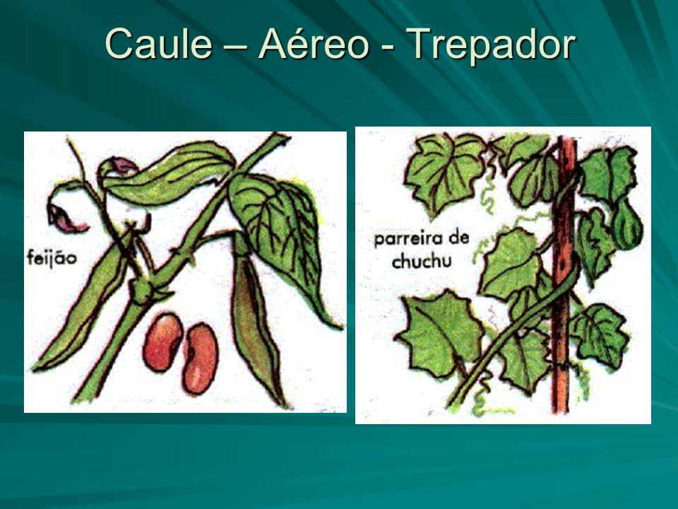 Caule – Aéreo - Trepador