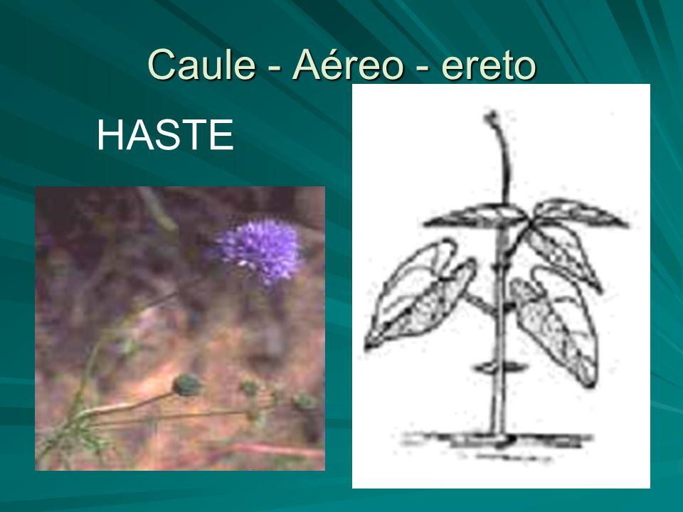 ESTIPE Caule – Aéreo - Ereto