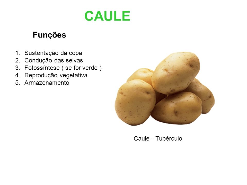 CAULE Funções 1.Sustentação da copa 2.Condução das seivas 3.Fotossíntese ( se for verde ) 4.Reprodução vegetativa 5.Armazenamento Caule - Tubérculo