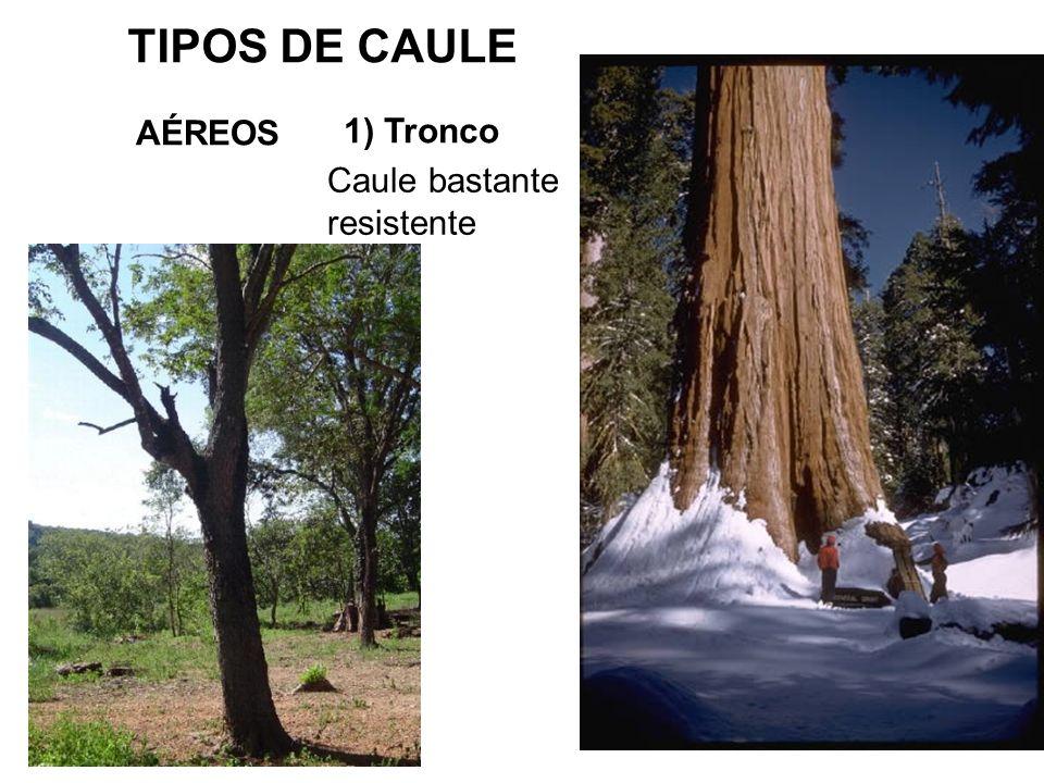 TIPOS DE CAULE AÉREOS 1) Tronco Caule bastante resistente