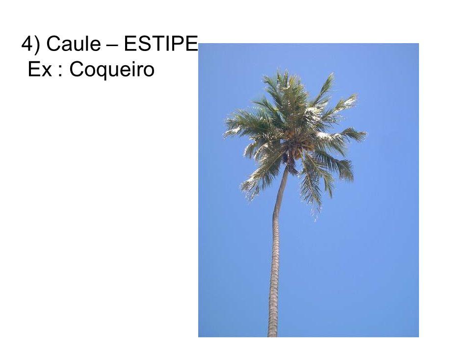 4) Caule – ESTIPE Ex : Coqueiro