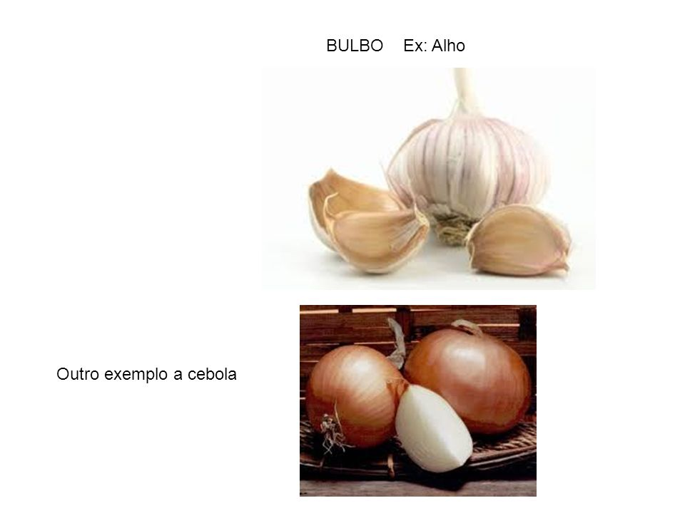 BULBO Ex: Alho Outro exemplo a cebola