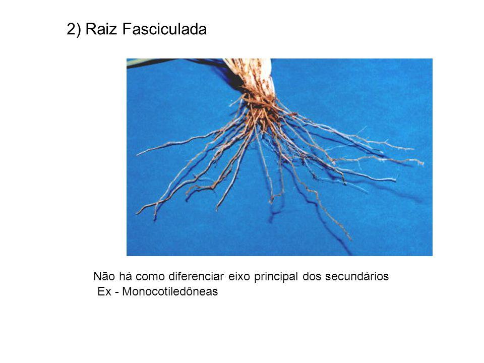 2) Raiz Fasciculada Não há como diferenciar eixo principal dos secundários Ex - Monocotiledôneas