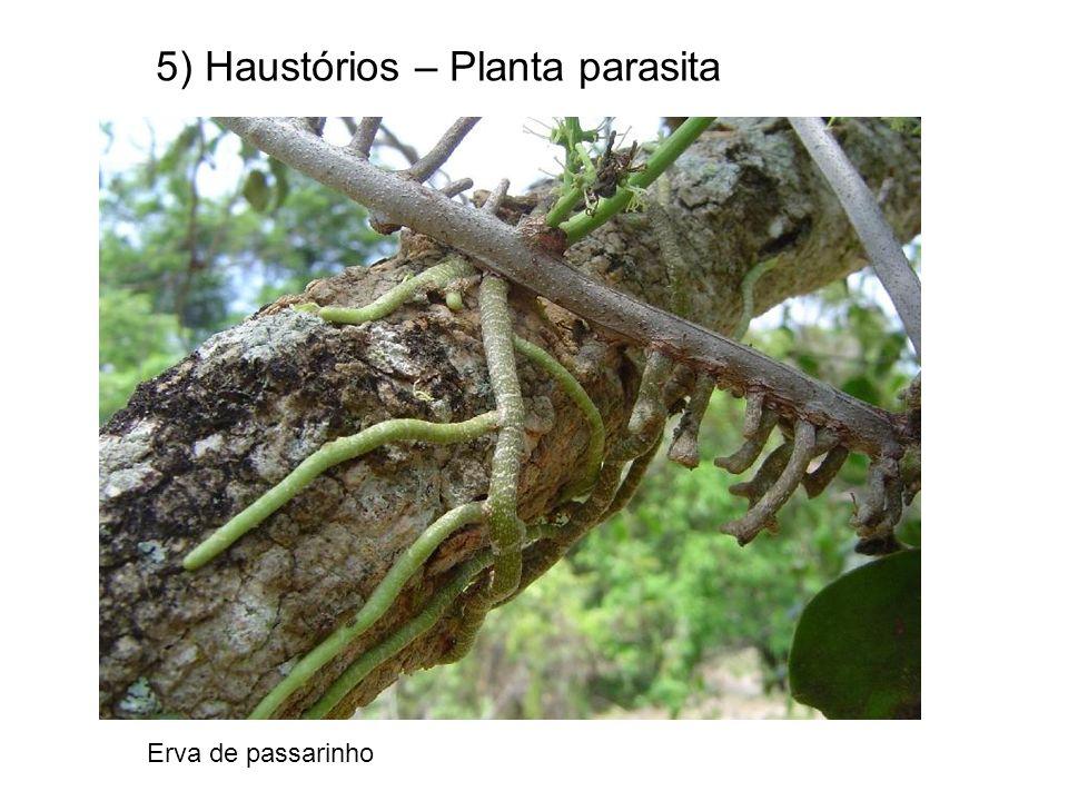 5) Haustórios – Planta parasita Erva de passarinho
