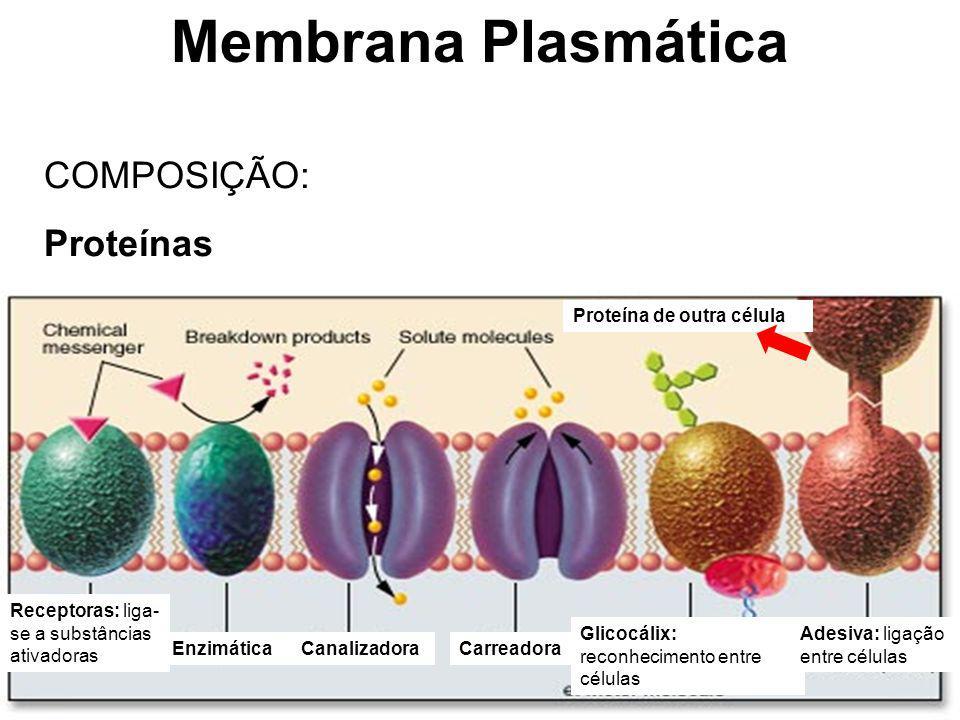 Membrana Plasmática COMPOSIÇÃO: Proteínas Receptoras: liga- se a substâncias ativadoras EnzimáticaCarreadoraCanalizadora Glicocálix: reconhecimento en
