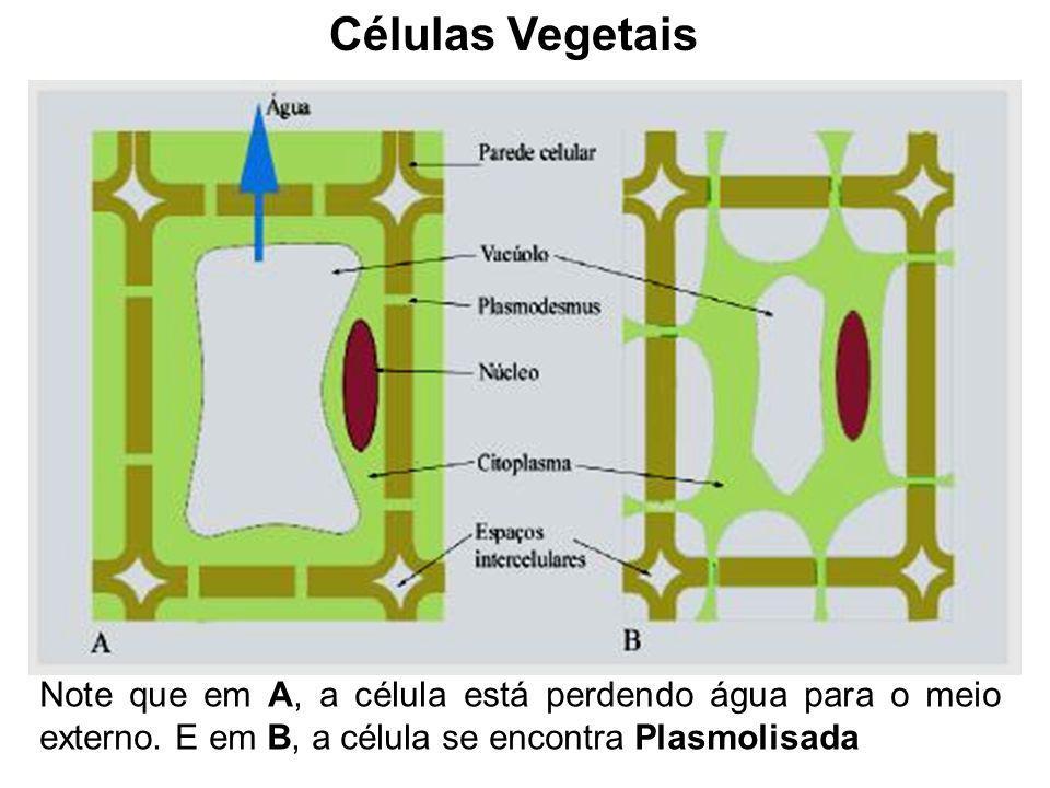 Células Vegetais Note que em A, a célula está perdendo água para o meio externo. E em B, a célula se encontra Plasmolisada
